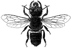 The LARGEST Bee in the World - Aussie Bee Online Article 4