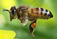 commercial honey bee