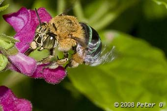Bluebanded bee
