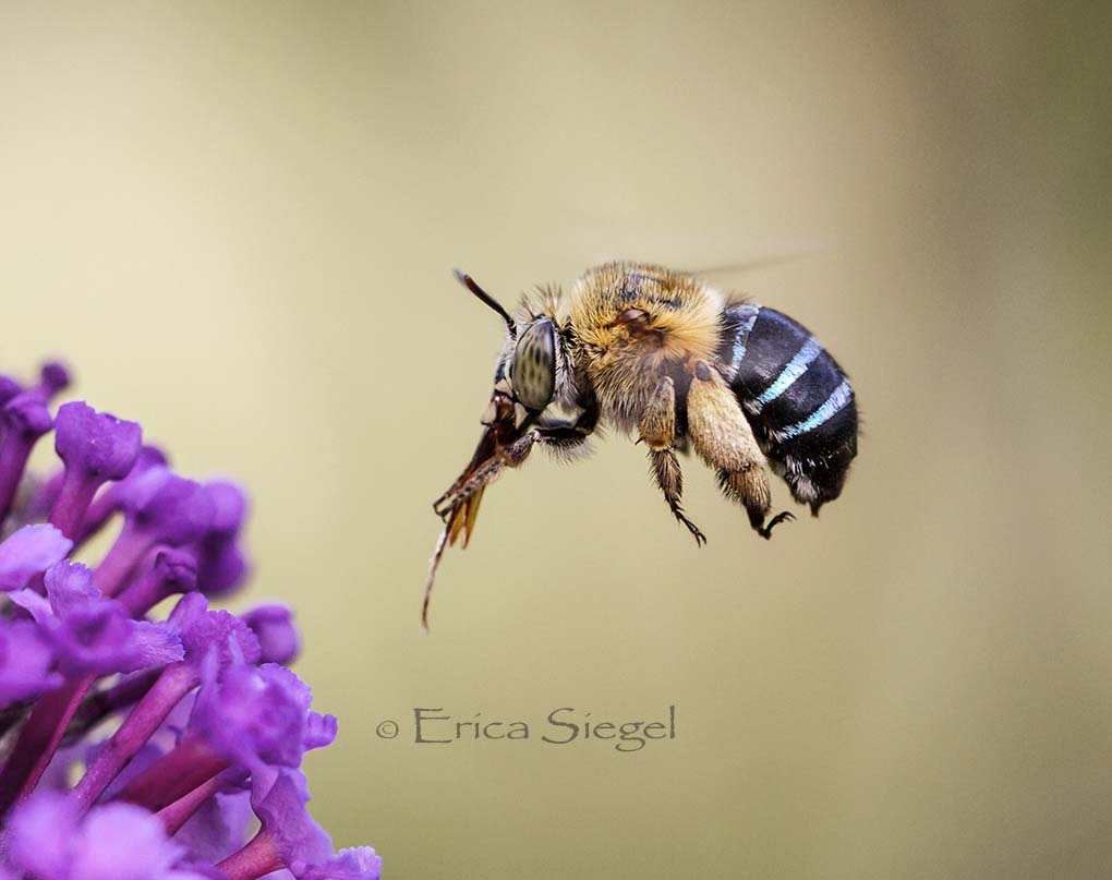 Australian native bee