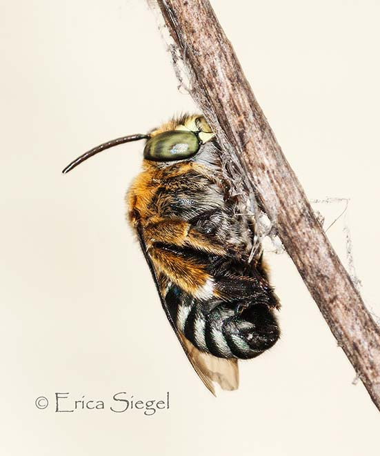 bluebanded bee on roost