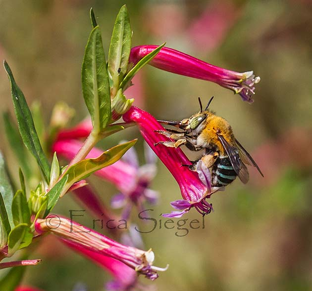bluebanded bee on flower