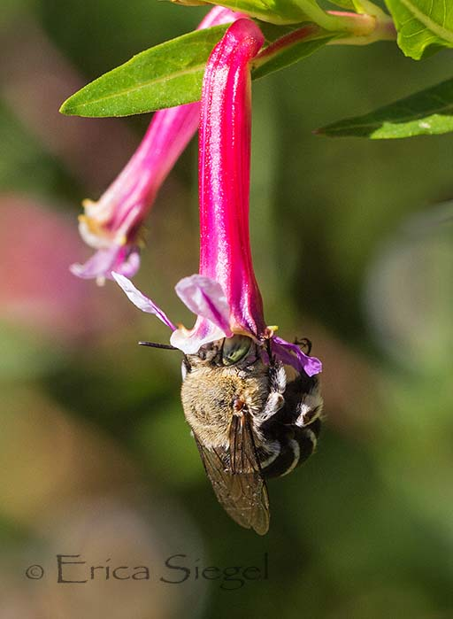 a long tongued amegilla bee