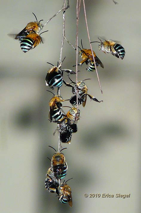blue banded bees roosting