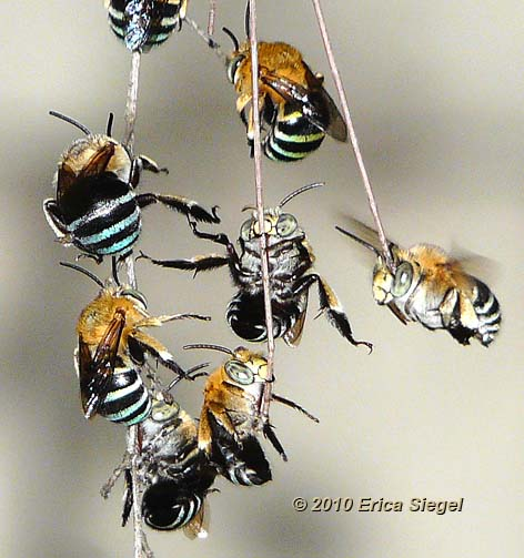 blue banded bees on roost