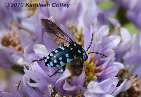 Chequered Cuckoo Bee