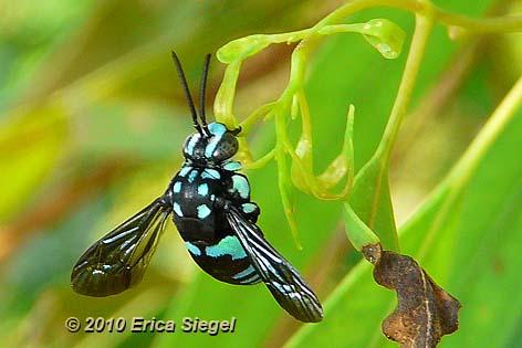 [Image: cuckoo-bee-siegel-3.jpg]