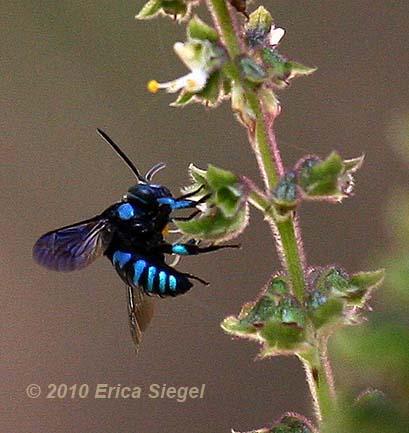 [Image: cuckoo-bee-siegel-5.jpg]