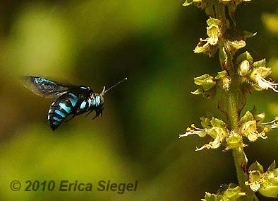[Image: cuckoo-bee-siegel-6.jpg]