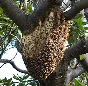 honey bee feral nest