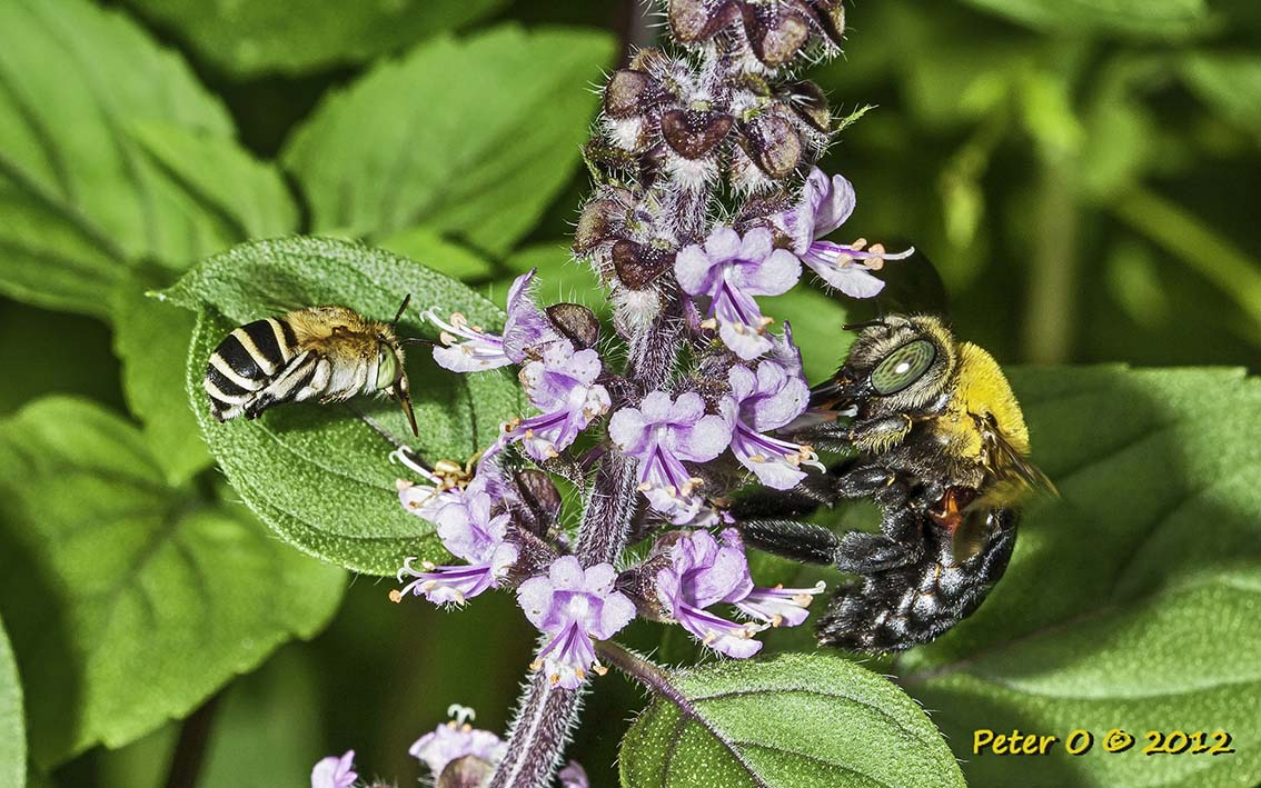 bluebanded bee and carpenter bee