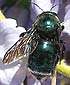 metallic carpenter bee