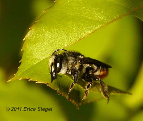 leafcutter bee in action