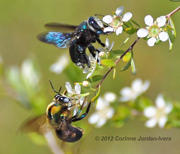 Male and female carpenter bees