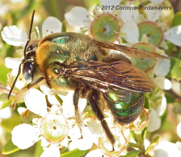 Male Lestis carpenter bee