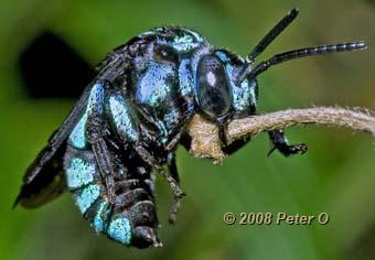 [Image: neon-cuckoo-bee.jpg]