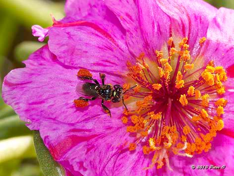 stingless bee collecting pollen