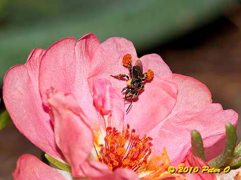 stingless bee with pollen