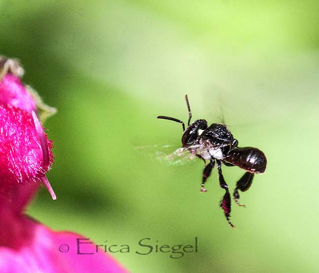 stingless native bee in flight