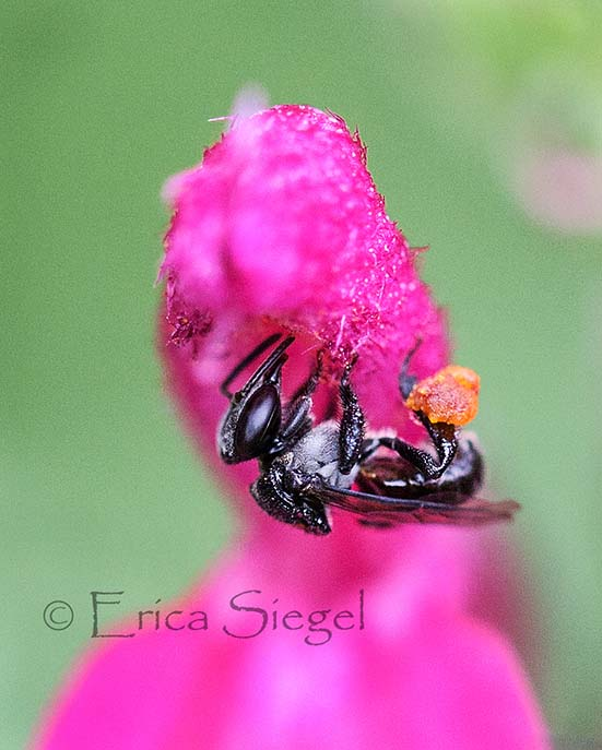 Australian stingless bee