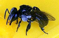 stingless native bee