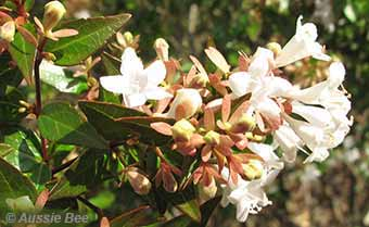 The long flowering Abelia x grandiflora