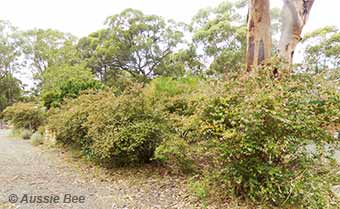 Abelia shrubs support native bees