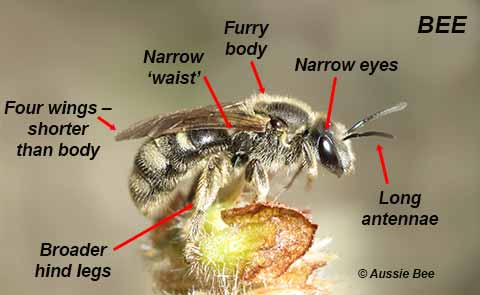 features of a bee