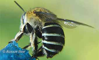 native blue banded bees