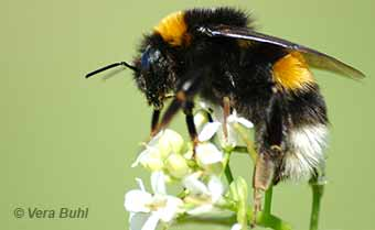 introduced european bumble bee - photo by Vera Buhl