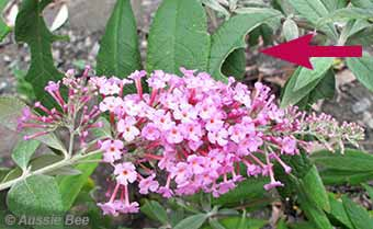 Buddleja for leaf cutters