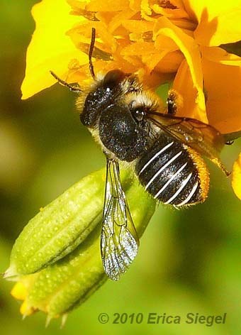 Feral Carder Bee
