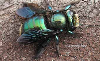 a Lestis carpenter bee