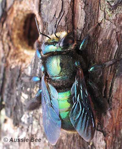 native metallic green carpenter bee
