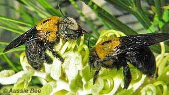 Great Carpenter Bees Xylocopa