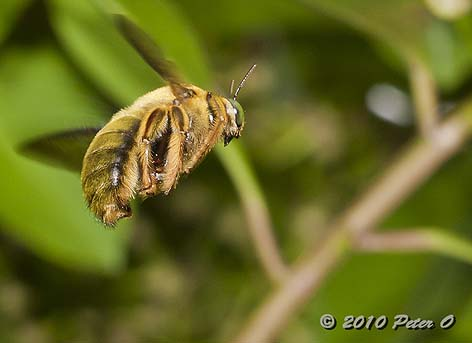 Great Carpenter Bee male by Peter O