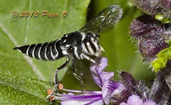 Cuckoo bee that attacks Leafcutter bees