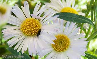 daisies native bees