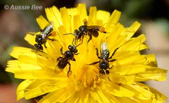 Even dandelion weeds can support native bees
