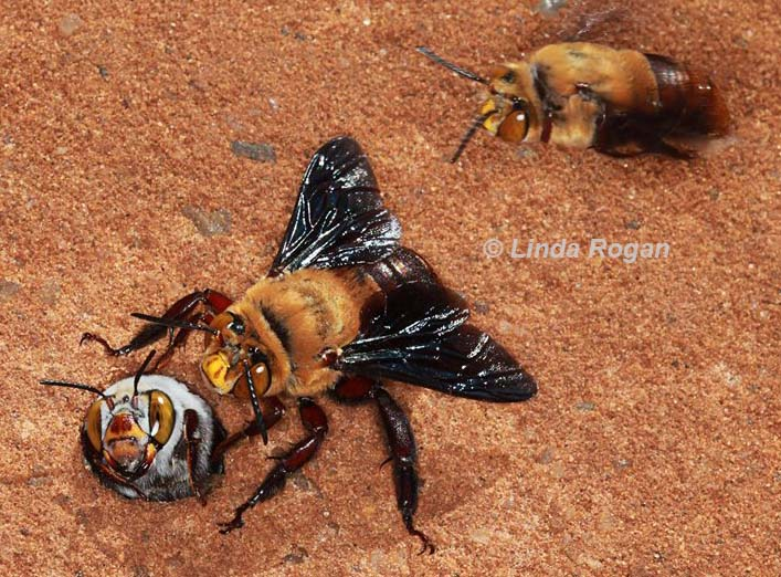 two male dawsons burrowing bees compete for an emerging female - by Linda Rogan