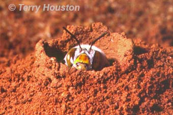 native dawsons burrowing bee by Terry Houston