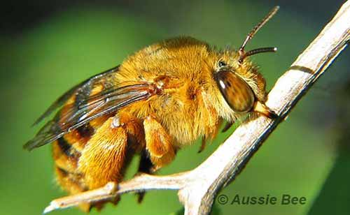 Teddy bear bee on roost