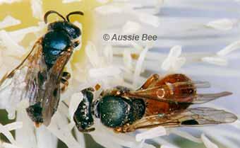 Native homalictus bees