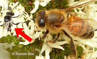 Stingless native bee and commercial honey bee
