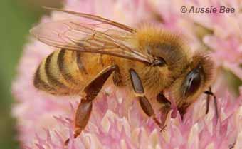 introduced european honey bee