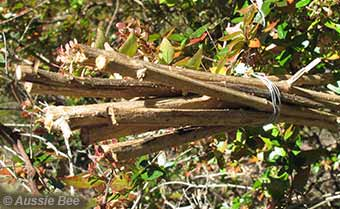Bundle of lantana canes for reed bees