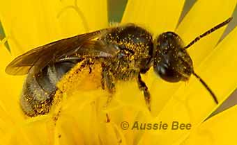 a solitary Lasioglossum bee covered in pollen