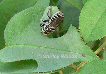 leafcutter bee cutting leaf by Shirley Woods