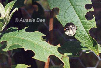 native leafcutter bee cutting buddleja by Aussie Bee