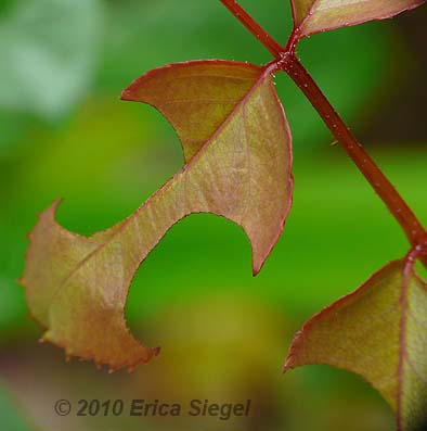 leafcutter cuts in leaves by Erica Siegel